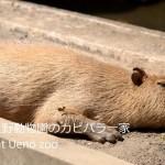 5月4日の無料入園日に上野動物園のカピバラ一家の様子を動画撮影してみた!