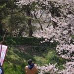 弘前公園の外濠でいきなり桜吹雪のみごとな景色を見た! 『弘前の桜を見に行こう!』 その3