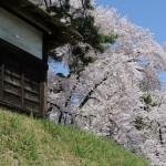 弘前公園の追手門を入ってすぐのところの枝垂れ桜があまりにもみごとだった! 『弘前の桜を見に行こう!』 その4