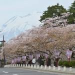 弘前公園の桜のトンネルはその名の通り完全なる「桜のトンネル」だった! 『弘前の桜を見に行こう!』 その13
