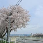 青森県黒石市の浅瀬石川沿いと御幸公園の満開の桜 『弘前の桜を見に行こう!』 その18