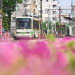 【Tokyo Train Story】つつじ咲く都電荒川線沿線