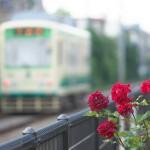 【Tokyo Train Story】そろそろバラも見納め(都電荒川線)