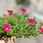 夏の日差しをいっぱいに浴びた花々と都電荒川線を撮影する 『雑司ヶ谷フォトウォーク2014夏』 その1