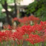 曼珠沙華(彼岸花)が咲き誇る諏方神社境内の風景 『ぎゃらりーKnulpが主催する谷根千フォトウォーク』 その1