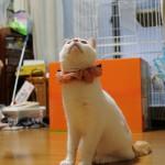 我が家に立ち耳のスコティッシュフォールドがやって来た!ついにネコがいる暮らしが始まる