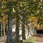 新宿御苑の黄葉のプラタナス並木とバラ園 『秋の新宿御苑フォトウォーク』 その2(最終回)