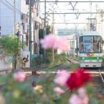 【Tokyo Train Story】バラが咲き誇る三ノ輪橋電停(都電荒川線)