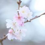 新宿御苑で今年最後のお花見 秋にも花を咲かせる桜のジュウガツザクラを撮影してみた