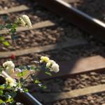 【Tokyo Train Story】荒川二丁目電停脇のバラ(都電荒川線)