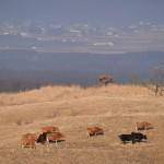 あか牛の放牧、米塚、草千里ヶ浜で阿蘇の雄大な景色を眺める  『くまもと鉄分補給日記の旅』 その12 #鉄道くまもと