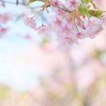 【東京春景色】桜と梅の花を同時に見ることができる!上野公園内の五條天神社で一足早い東京の春の景色を撮影してみた