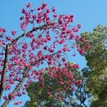 【東京春景色】上野公園の満開の寒緋桜(カンヒザクラ)で一足早いお花見