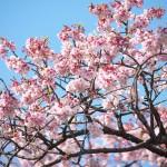 【東京春景色】上野公園内のカンザクラはもう咲き始めています!
