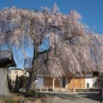 【東京春景色】谷中の長明寺にて満開の枝垂れ桜に酔いしれる