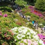 根津神社で開催中の文京つつじまつりで一面に咲くつつじの花々をたっぷりと撮影してきた