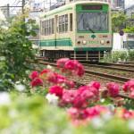 【Tokyo Train Story】都電沿線バラ散歩