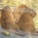 平成27年(2015年)5月4日に産まれたあらかわ遊園の3つ子の赤ちゃんカピバラに会いに行ってきた! #capybara #カピバラ