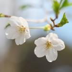 今週の365 DAYS OF TOKYO(6月1日~6月7日) ~ 谷中と上野の春