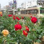 【Tokyo Train Story】町屋駅前電停近くのバラ園