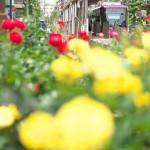 【Tokyo Train Story】バラ満開の町屋駅前電停(都電荒川線)