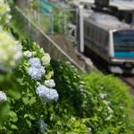 【Tokyo Train Story】諏方神社の紫陽花(京浜東北線)