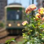 【Tokyo Train Story】バラと都電荒川線