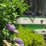 【Tokyo Train Story】アジサイが咲く都電荒川線沿線風景