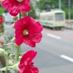 【Tokyo Train Story】タチアオイ咲く(都電荒川線)