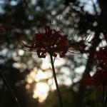 夕日をバックにした曼珠沙華が咲く青山周辺で撮影してみる 『原宿・青山フォトウォーク』 その5(最終回)