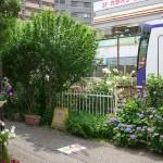 【Tokyo Train Story】バラとアジサイの小道(都電荒川線)