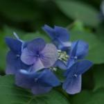 今週の365 DAYS OF TOKYO(7月27日~8月2日) ~ 梅雨時の東京の花