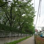 【Tokyo Train Story】夏の桜並木(都電荒川線)