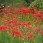 東京都内のお勧めスポットを紹介 見頃を迎えた曼珠沙華(彼岸花)を眺めながら庭園散策をすることができる小石川後楽園(写真31枚)
