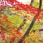 龍王峡のむささび橋から望むみごとな渓谷の紅葉『秋の栃木へ 2015』 その5