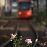 【Tokyo Train Story】冬のバラが咲く都電荒川線沿線