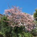 1月10日に桜を見て、「いとうの日」のイベントを楽しむ 『冬の青春18きっぷの旅 伊東温泉編』 その10 #αアンバサダーモニター