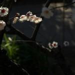 春の訪れを感じさせる梅がいっぱい!上野公園内にある五條天神社の境内は紅梅、白梅の観梅スポットです