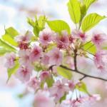 上野公園内にある五條天神社の河津桜はまだまだ楽しめます!