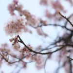寒桜が咲いている!上野公園で一足早いお花見気分を味わおう!