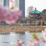 上野の新名所となるか!?不忍池の畔の河津桜が満開です!