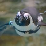 ペンギンが泳いでいる姿がかっこいい!飼育員さんによるエサやりタイムも必見ですよ 『サンシャイン水族館に行こう!』 その1