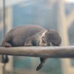 カワウソたちが高速で遊びまわる姿が圧倒的にかわいい!疲れて眠った時の寝顔も必見ですよ 『サンシャイン水族館に行こう!』 その2