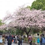 上野公園のオオカンザクラが満開!特に公園入口付近の木は写真撮影にぴったりな程美しいですよ!