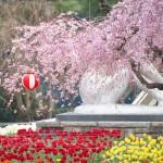 【東京春景色】荒川区役所の枝垂れ桜が見頃を迎えています!