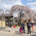 【東京春景色】谷中の長明寺の枝垂れ桜が満開の様子はあまりに見事でため息が出てきちゃいます