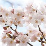 今週の365 DAYS OF TOKYO(4月4日~4月10日) ~ 谷中の桜の咲き始め