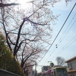 【Tokyo Train Story】桜の花を見ながら歩こう!(都電荒川線)
