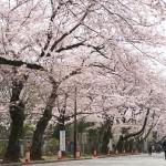 【東京春景色】谷中霊園の桜が満開!谷根千散策の際にぜひお花見がてら散歩してみてください!