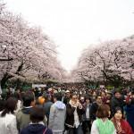 【東京春景色】満開の桜で埋め尽くされた上野公園でお花見散歩